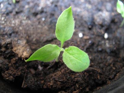 """""""Un posto nel semenzaio"""", anno terzo: piante in cerca di sistemazione - melanzana rossa di Rotonda"""