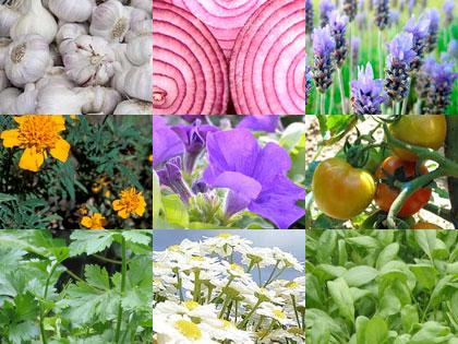 9 piante per orto e giardino che allontanano parassiti e malattie