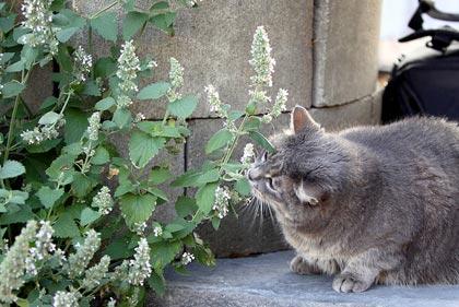 Nepeta cataria, inebriante per i gatti, dolcemente sedativa per tutti
