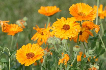 5 piante che attirano gli insetti utili nell'orto e nel giardino