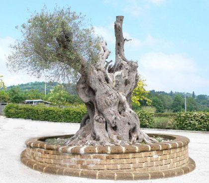 Alberi monumentali, l'olivo di Santa Aquilina a Rimini