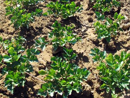 Cosa coltivare nell'orto, S come sedano