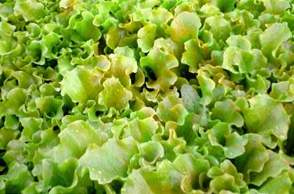 Cosa coltivare nell'orto, L come lattuga da taglio