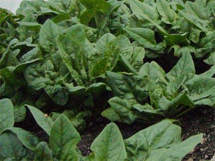Cosa coltivare nell'orto, S come spinacio