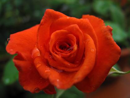 Una rosa per Franco