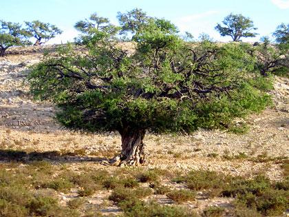 L'olio di argan: 5 passi per conoscerlo