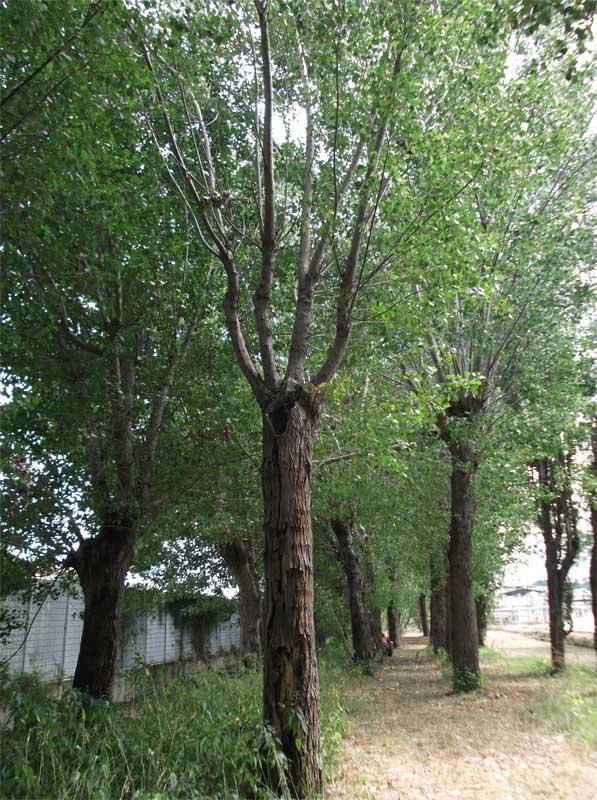 Manifesto contro la capitozzatura della piante ad alto for Piante da giardino sempreverdi alto fusto