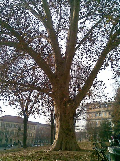 Alberi monumentali, il platano di Piazza Cavour a Torino